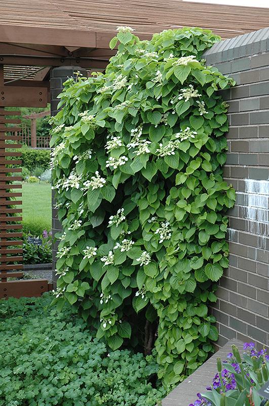 Japanese hydrangea vine schizophragma hydrangeoides in atlanta japanese hydrangea vine schizophragma hydrangeoides at randys perennials mightylinksfo