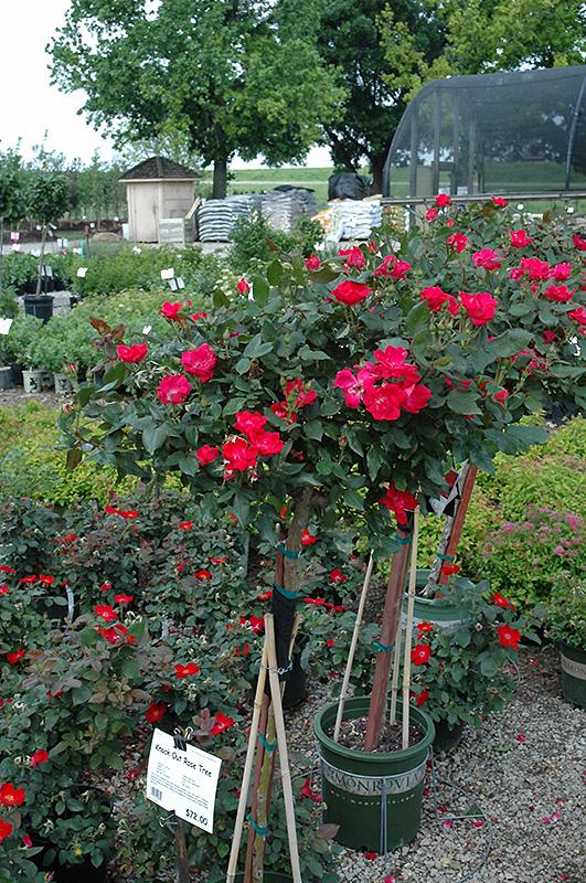 Knock out rose tree rosa 39 radrazz 39 in atlanta for Garden rose trees