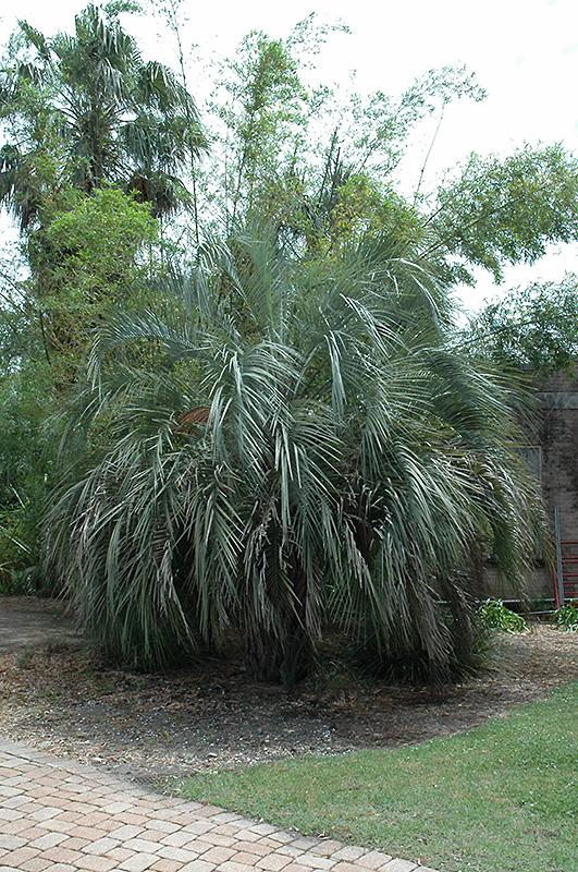 Jelly Palm Butia Capitata In Atlanta Lawrenceville