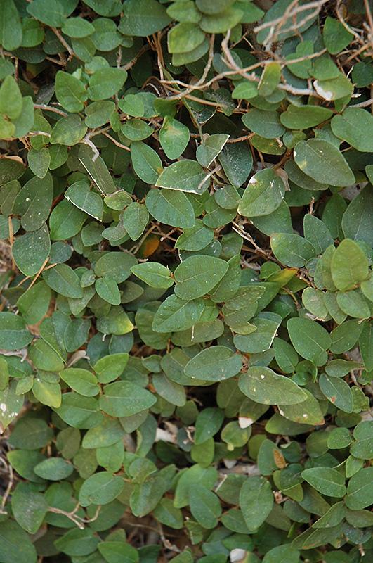 Creeping Fig Ficus Pumila In Atlanta Lawrenceville