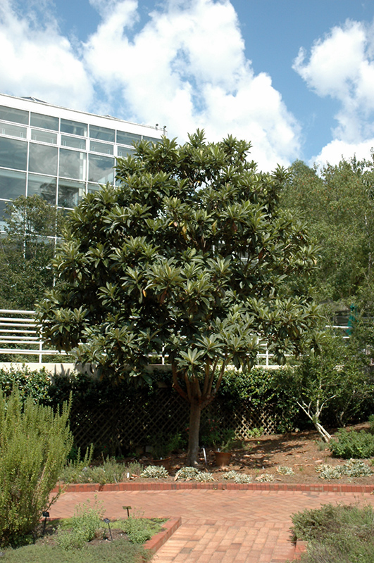 Loquat Eriobotrya Japonica In Atlanta Lawrenceville
