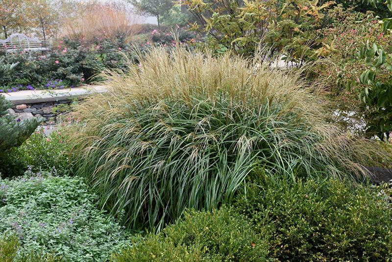 Adagio Maiden Grass (Miscanthus sinensis \'Adagio\') in Atlanta ...