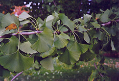 Ginkgo (Ginkgo biloba) at Randy's Perennials