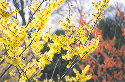 Arnold Promise Witchhazel (Hamamelis x intermedia 'Arnold Promise') at Randy's Perennials