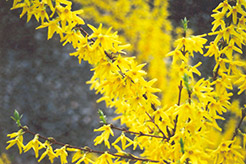 Spectabilis Forsythia (Forsythia x intermedia 'Spectabilis') at Randy's Perennials
