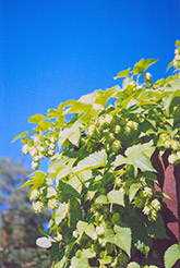 Hops (Humulus lupulus) at Randy's Perennials