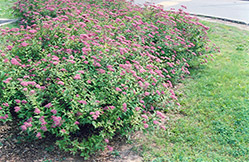 Dart's Red Spirea (Spiraea x bumalda 'Dart's Red') at Randy's Perennials