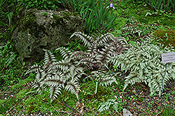 Japanese Painted Fern (Athyrium nipponicum 'Pictum') at Randy's Perennials