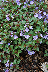Waterperry Blue Speedwell (Veronica 'Waterperry Blue') at Randy's Perennials