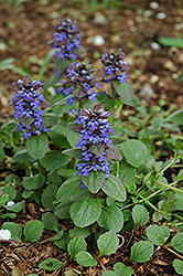 Caitlin's Giant Bugleweed (Ajuga reptans 'Caitlin's Giant') at Randy's Perennials