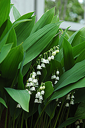 Lily-Of-The-Valley (Convallaria majalis) at Randy's Perennials