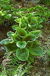 Frances Williams Hosta (Hosta 'Frances Williams') at Randy's Perennials