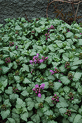 Red Nancy Spotted Dead Nettle (Lamium maculatum 'Red Nancy') at Randy's Perennials