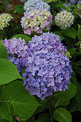Endless Summer® Hydrangea (Hydrangea macrophylla 'Endless Summer') at Randy's Perennials