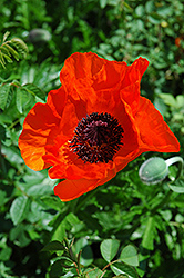 Allegro Poppy (Papaver orientale 'Allegro') at Randy's Perennials