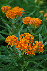 Butterfly Weed (Asclepias tuberosa) at Randy's Perennials