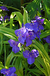 Sweet Kate Spiderwort (Tradescantia x andersoniana 'Sweet Kate') at Randy's Perennials