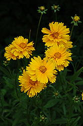 Early Sunrise Tickseed (Coreopsis 'Early Sunrise') at Randy's Perennials