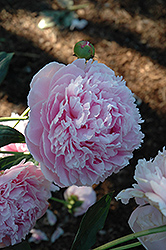 Shirley Temple Peony (Paeonia 'Shirley Temple') at Randy's Perennials