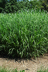 Silver Feather Maiden Grass (Miscanthus sinensis 'Silver Feather') at Randy's Perennials