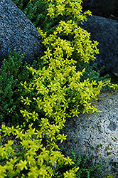 Six Row Stonecrop (Sedum sexangulare) at Randy's Perennials