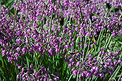 Nodding Onion (Allium cernuum) at Randy's Perennials