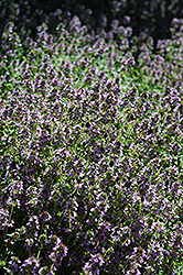 Lemon Thyme (Thymus x citriodorus) at Randy's Perennials