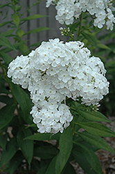 David Garden Phlox (Phlox paniculata 'David') at Randy's Perennials