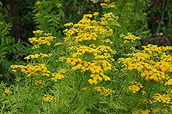 Isla Gold Tansy (Tanacetum vulgare 'Isla Gold') at Randy's Perennials