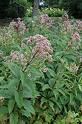 Gateway Joe Pye Weed (Eupatorium maculatum 'Gateway') at Randy's Perennials