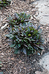 Chocolate Chip Bugleweed (Ajuga reptans 'Chocolate Chip') at Randy's Perennials