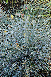 Blue Fescue (Festuca glauca) at Randy's Perennials
