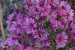 Woods Pink Aster (Aster 'Woods Pink') at Randy's Perennials