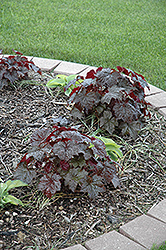 Palace Purple Coral Bells (Heuchera micrantha 'Palace Purple') at Randy's Perennials