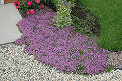 Red Creeping Thyme (Thymus praecox 'Coccineus') at Randy's Perennials