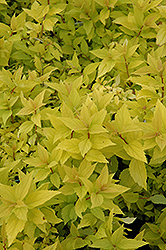 Goldmound Spirea (Spiraea japonica 'Goldmound') at Randy's Perennials