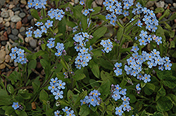 Forget-Me-Not (Myosotis sylvatica) at Randy's Perennials
