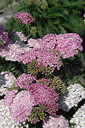Apple Blossom Yarrow (Achillea millefolium 'Apple Blossom') at Randy's Perennials