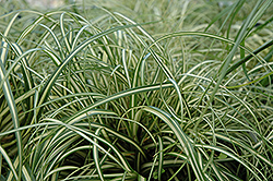 Evergold Variegated Japanese Sedge (Carex oshimensis 'Evergold') at Randy's Perennials