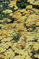 Terra Cotta Yarrow (Achillea 'Terra Cotta') at Randy's Perennials