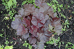 Obsidian Coral Bells (Heuchera 'Obsidian') at Randy's Perennials