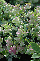 Kent Beauty Oregano (Origanum rotundifolium 'Kent Beauty') at Randy's Perennials