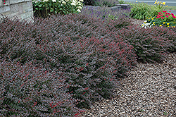 Crimson Pygmy Japanese Barberry (Berberis thunbergii 'Crimson Pygmy') at Randy's Perennials