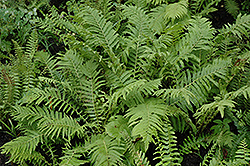Christmas Fern (Polystichum acrostichoides) at Randy's Perennials