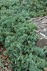 Blue Rug Juniper (Juniperus horizontalis 'Wiltonii') at Randy's Perennials