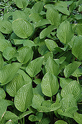 Royal Standard Hosta (Hosta 'Royal Standard') at Randy's Perennials