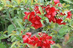 Texas Scarlet Flowering Quince (Chaenomeles speciosa 'Texas Scarlet') at Randy's Perennials