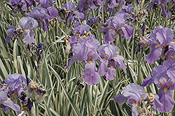Variegated Sweet Iris (Iris pallida 'Variegata') at Randy's Perennials