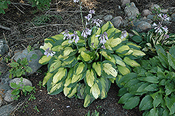 Captain Kirk Hosta (Hosta 'Captain Kirk') at Randy's Perennials