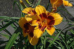 Black Eyed Susan Daylily (Hemerocallis 'Black Eyed Susan') at Randy's Perennials